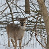 This young deer posed for me just for a split second ....  then wandered back through the woods. Photo taken near the Maumee River in northwestern Ohio.