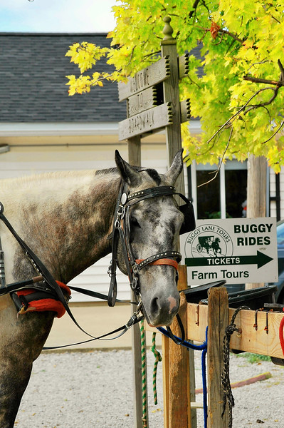Gentle dapple gray horse waiting to give another buggy ride.  Photo taken in Shipshewana Indiana