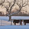 Ohio Snow Cows