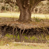 Exposed liveoak roots_SS9675