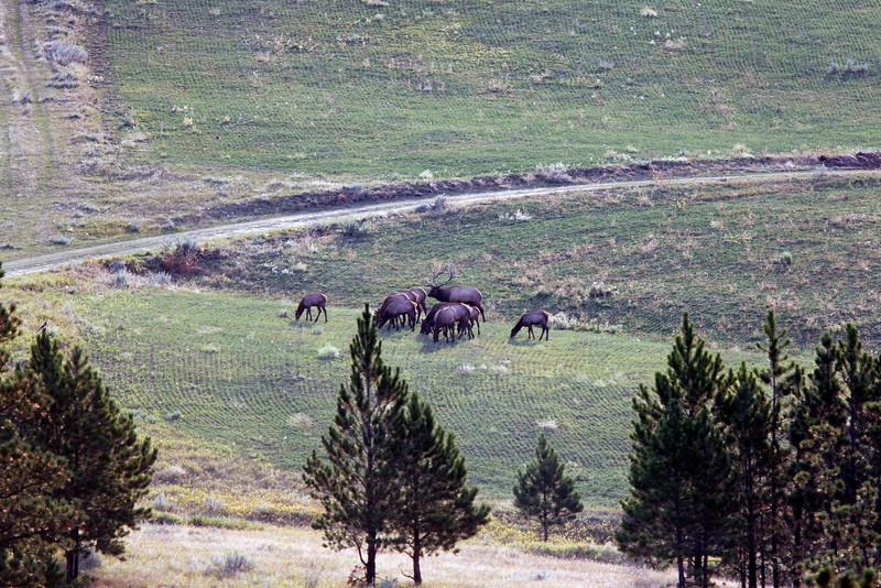 Elk Herd SS84015