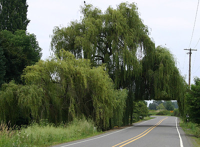Willow Tunnel (30715102)