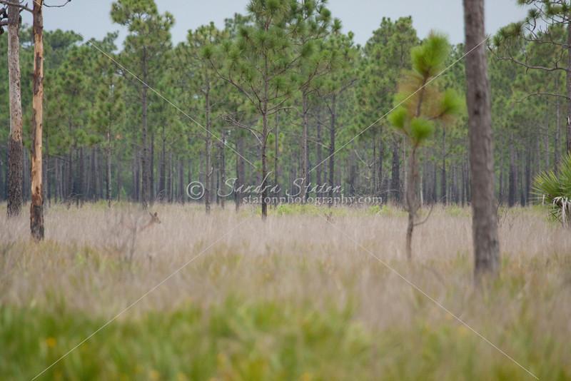 Deer in the pines_SS8486