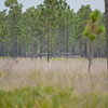 Deer in the pines_SS8486