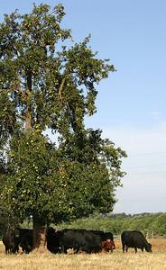 Cows amp Fruit Tree - St (32854428)
