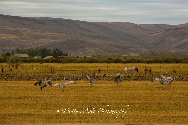 Dancing Sandhill Cranes 2