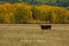 Cow in Fall