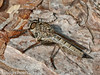 12 Sep 2010 -  Tolmerus atricapillus (Asilidae) seen at Creech Woods, Denmead. Copyright Peter Drury 2010