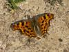 Comma (Polygonum c-album) f. Hutchinsoni. Male. Copyright Peter Drury 2010