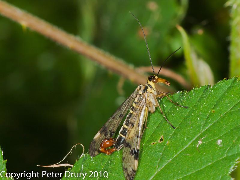 Scorpion Fly (Panorpa sp.). Copyright Peter Drury 2010