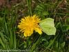 07 April 2011. Brimstone in Creech Wood.  Copyright Peter Drury 2011