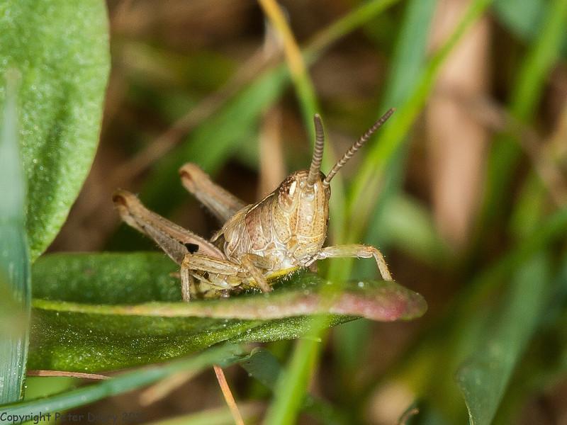 27 May 2011. Grasshopper nymph at Creech Wood. Copyright Peter Drury 2011