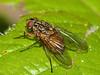 Muscidae, Phaonia sp. Copyright Peter Drury 2010