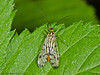 24 April 2011. Scorpion Fly at Creech Wood. Copyright Peter Drury 2011