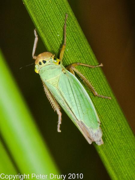 12 Sep 2010 -  Cicadella viridis seen at Creech Woods, Denmead. Copyright Peter Drury 2010
