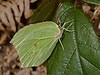 Brimstone (Gonepteryx rhamni). Copyright Peter Drury 2010<br /> My first Brimstone image of 2010.