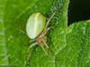 27 May 2011. Araniella cucurbitina or Araniella opisthographa at Creech Wood. Copyright Peter Drury 2011