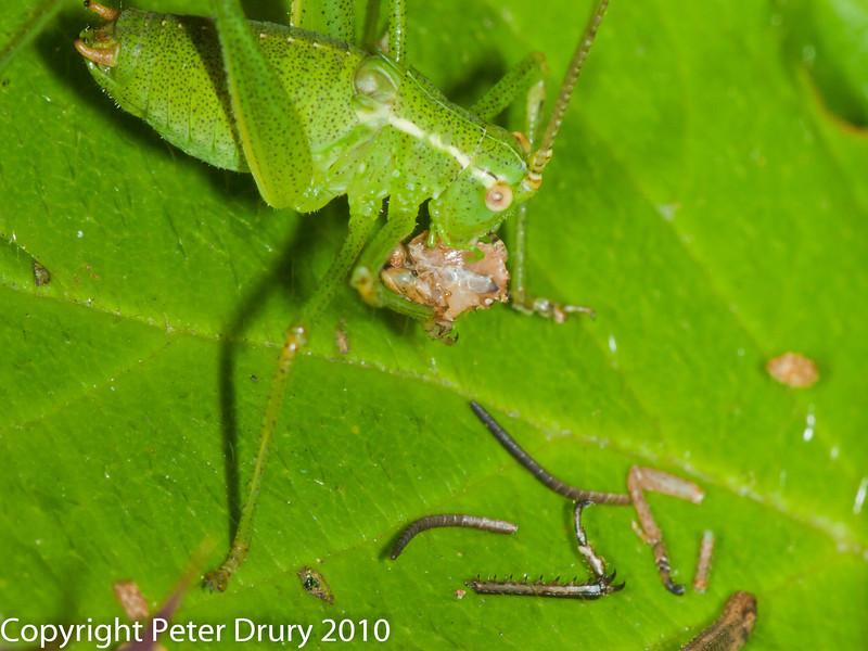 Speckled bush cricket (Leptophyes punctatissima). Copyright Peter Drury 2010
