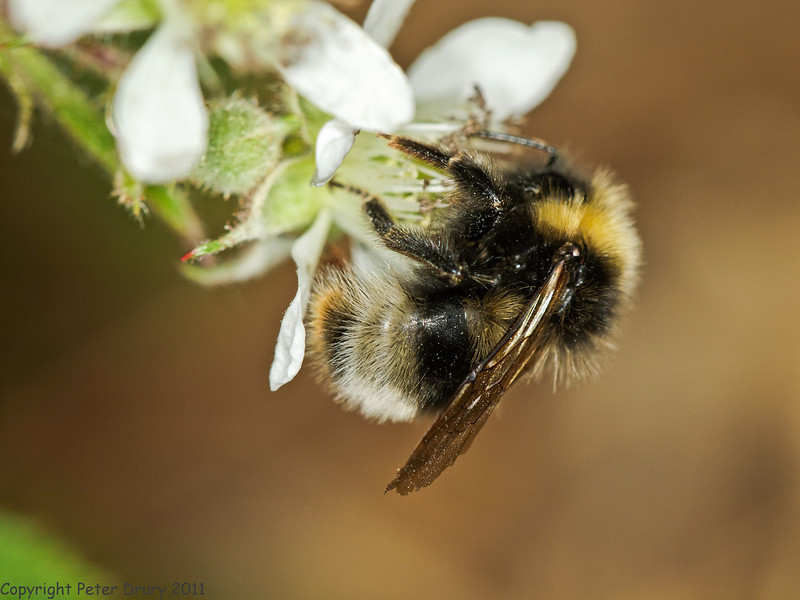 31 May 2011. Bee for ID at Creech Wood, Denmead. Copyright Peter Drury 2011