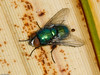 Muscidae?. Copyright Peter Drury 2010