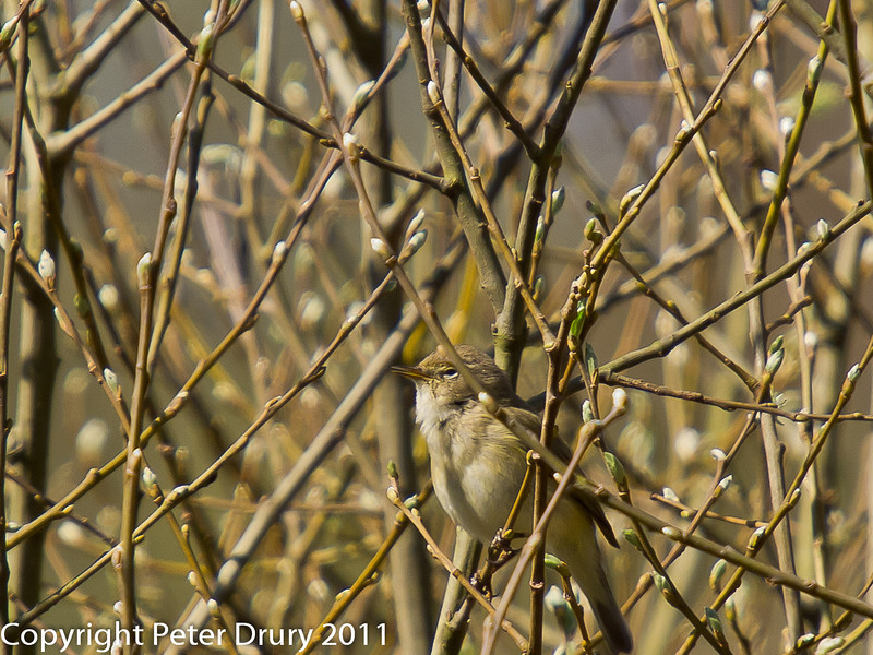 07 April 2011. Chiffchaff in Creech Wood.  Copyright Peter Drury 2011
