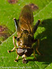 Hoverfly (Xylota segnis). Copyright Peter Drury 2010