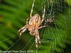 12 Sep 2010 - Garden Spider (Araneus diadematus) at Creech Woods, Denmead. Copyright Peter Drury 2010