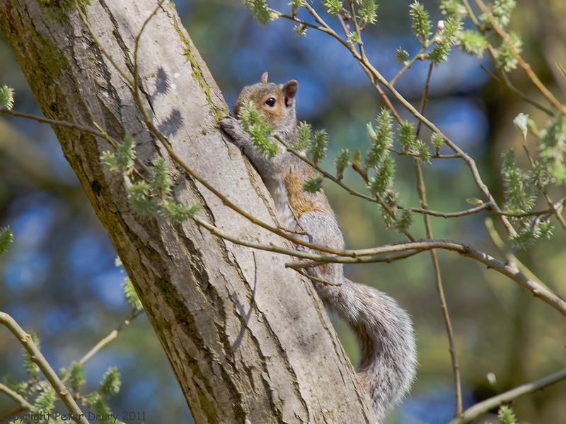 07 April 2011. Grey squirrel in Creech Wood.  Copyright Peter Drury 2011