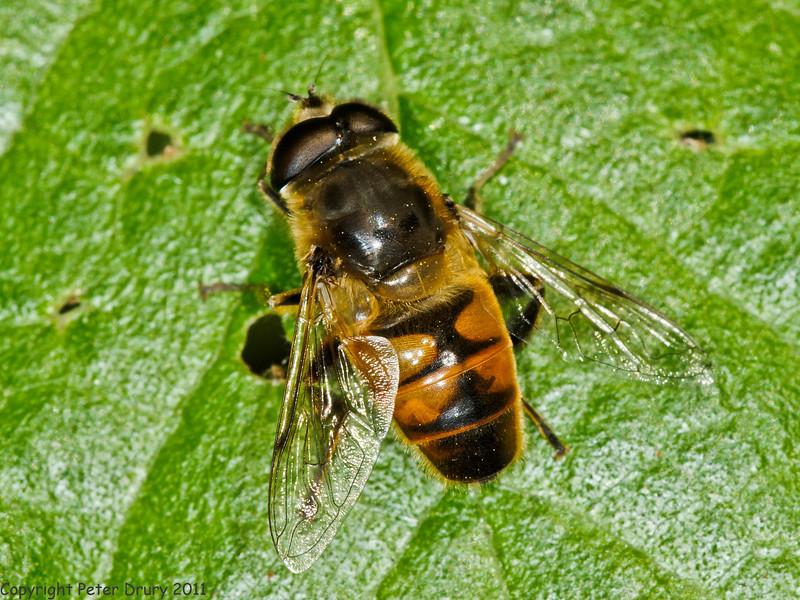 31 May 2011. E. pertinax? at Creech Wood, Denmead. Copyright Peter Drury 2011