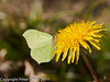 07 April 2011. Brimstone in Creech Wood.  Copyright Peter Drury 2011