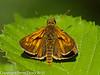 Large Skipper (Ochlodes venatus). Copyright Peter Drury 2010