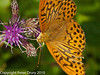 Silver-washed Fritillary (Argynnis paphia). Copyright Peter Drury 2010