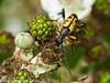 Rutpela maculata (male). Copyright Peter Drury 2010