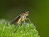 31 May 2011. Dolichopus sp. at Creech Wood, Denmead. Copyright Peter Drury 2011