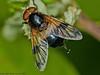 31 May 2011. Volucella pellucens at Creech Wood. Copyright Peter Drury 2011