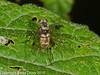 Rhagionidae - Chrysopilus cristatus. Copyright Peter Drury 2010<br /> Female