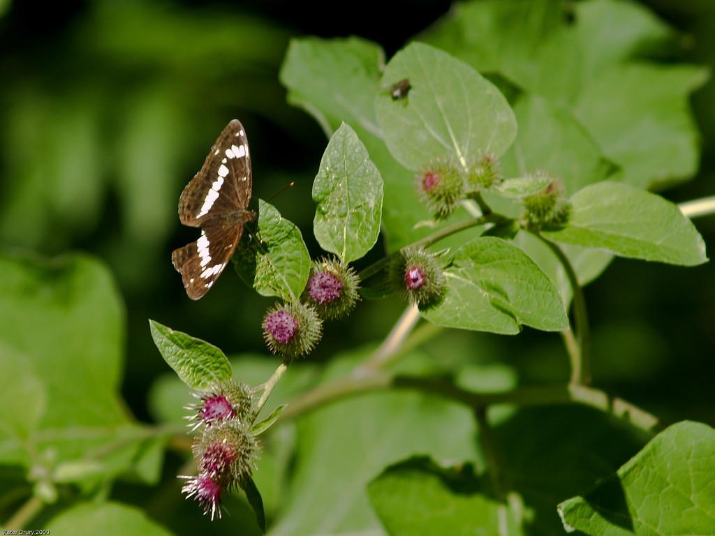 White Admiral (Limenitis camilla). Copyright 2009 Peter Drury