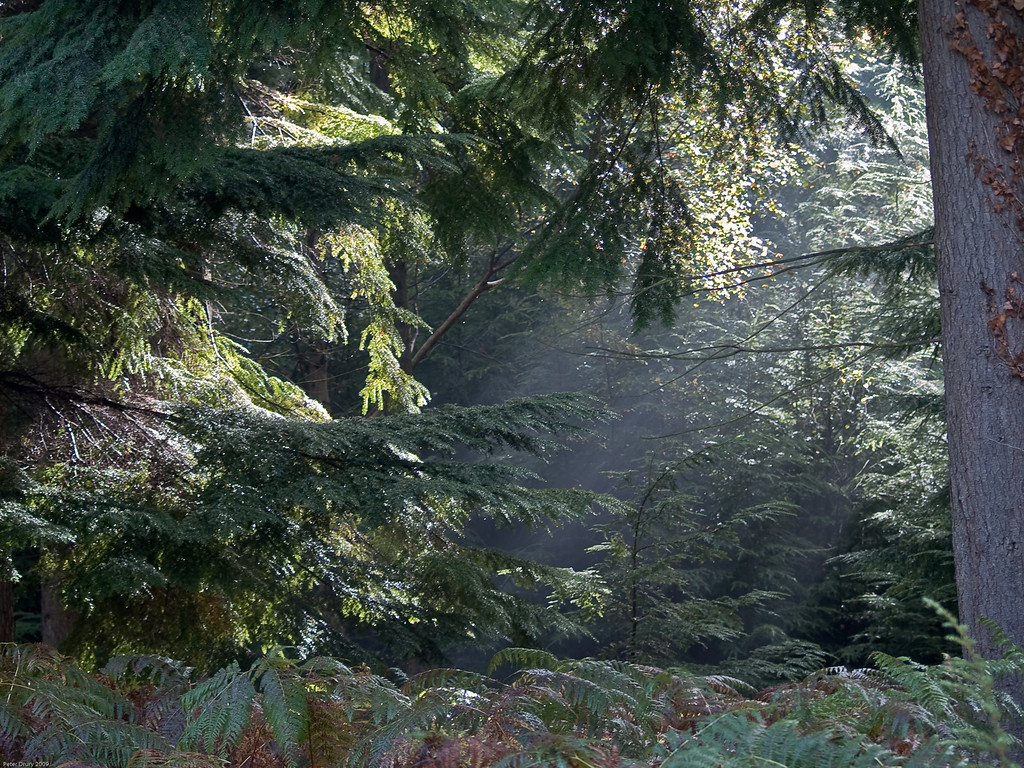 Shafts of sunlight through forest canopy. Copyright 2009 Peter Drury