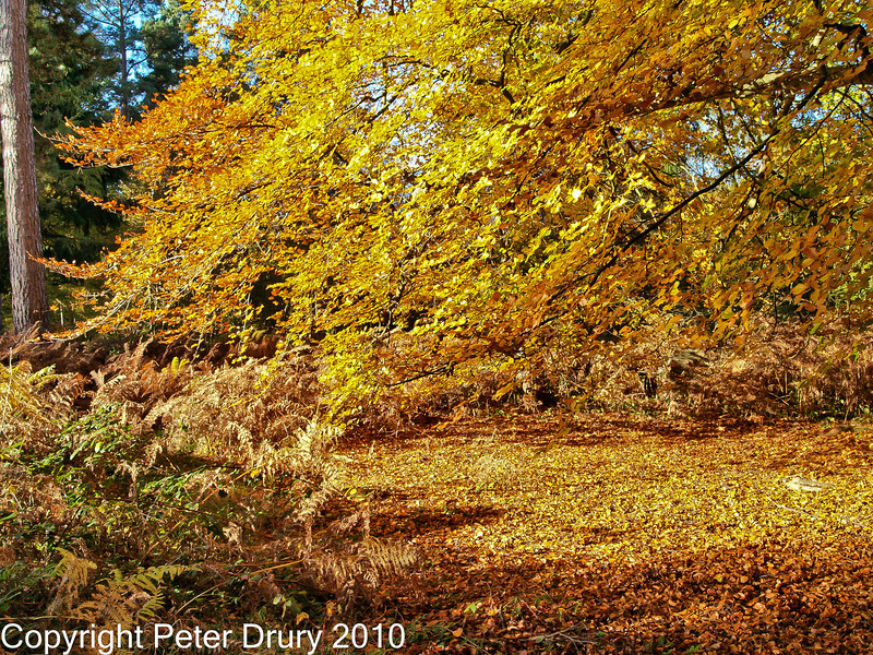 30 Oct 2007 - Woodland walks. Copyright Peter Drury 2007