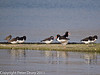 04 March 2011. Oystercatchers and Redshank at their high water roost at Southmoor. Copyright Peter Drury 2011