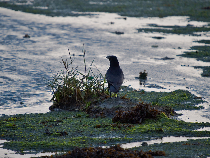 Carrion Crow on a mudbank at Farlington Marshes. Copyright 2009 Peter Drury