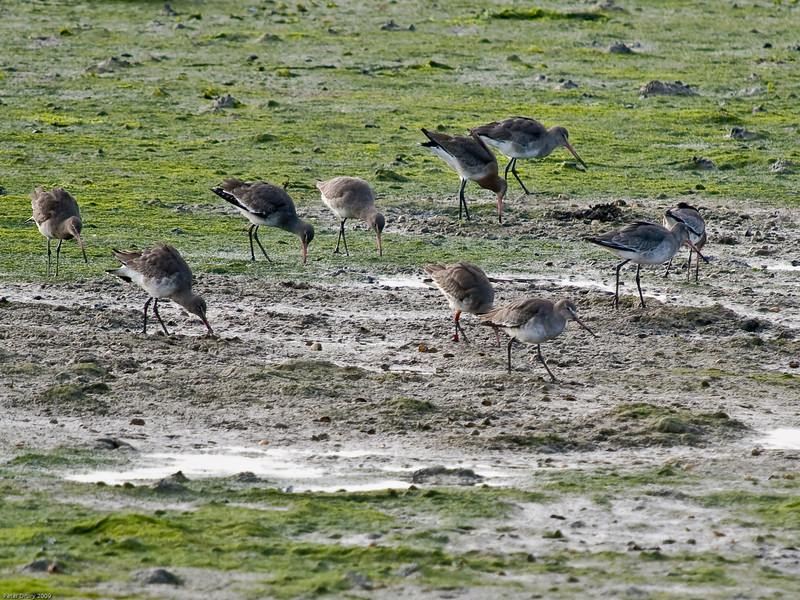 Black-tailed Godwit (Limosa limosa). Copyright 2009 Peter Drury<br /> Feeding on the mud banks in Langstone Harbour