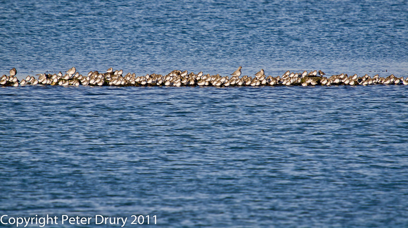 08 February 2011. Dunlin and Grey Plover at their high tide roost. Copyright Peter Drury 2011<br /> The taller birds are the Grey Plover.