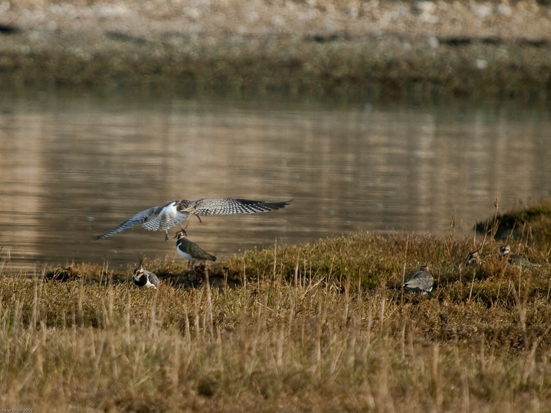 Curlew coming into land amongst Lapwing. Copyright 2009 Peter Drury