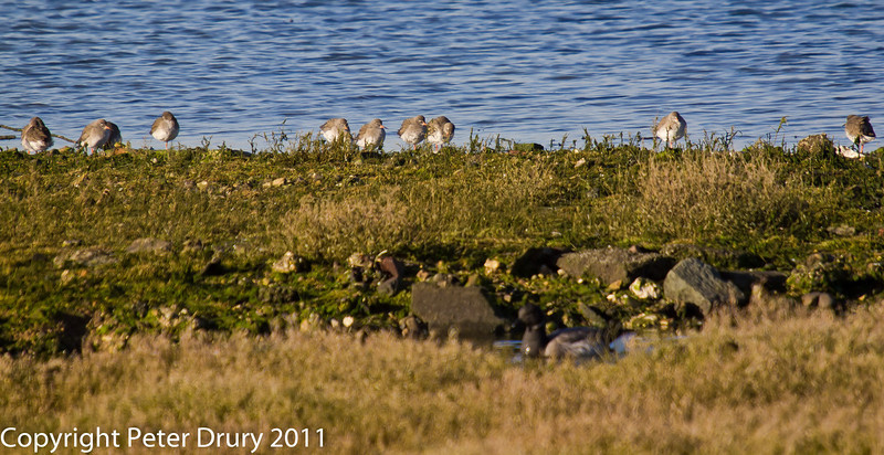 08 February 2011. Redshank at their high tide roost. Copyright Peter Drury 2011<br /> These waders prefer to roost where there is vegetation. They break from roosting to carry on feeding.