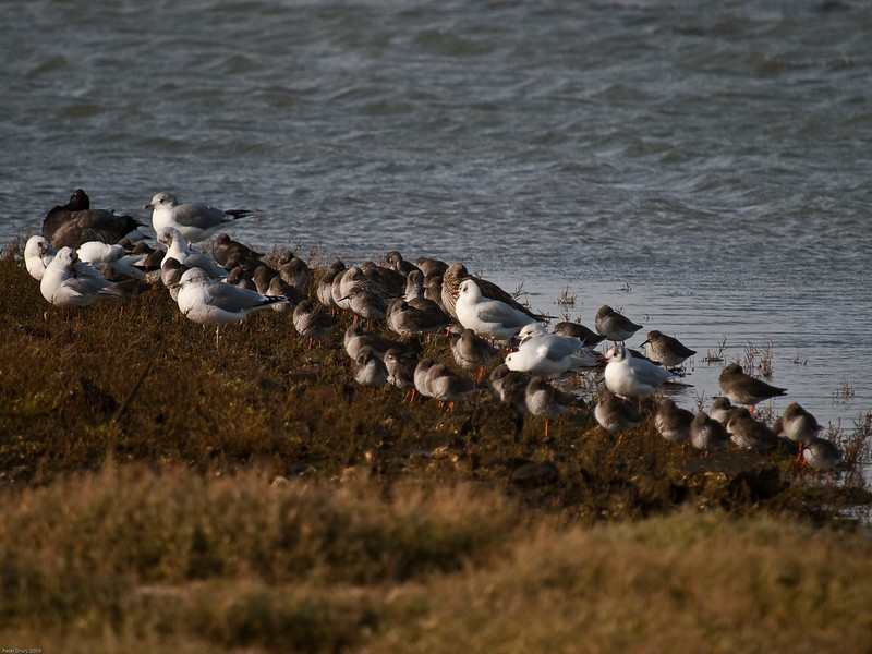 High tide roost - Oysterbeds Hayling Island. Copyright 2009 Peter Drury<br /> The birds included in this image are Common Gull, Black-headed Gull, Redshank, Greenshank and one Brent Goose. All dozing happily together.