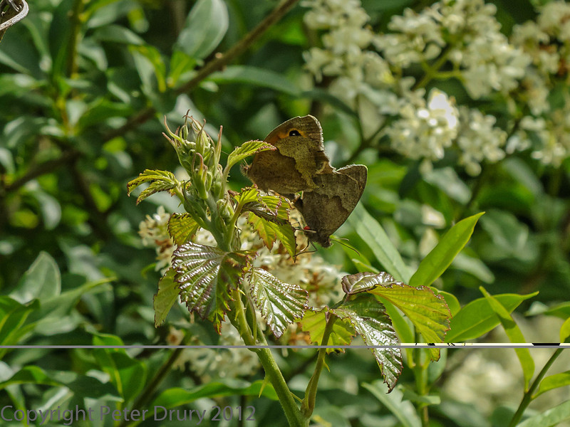 28 Jun 2012 Meadow Brown at Portchester Common