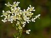28 April 2011. Hoary Cress (Lepidium draba). Copyright Peter Drury 2011