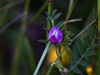 Common Vetch (Vicia sativa)