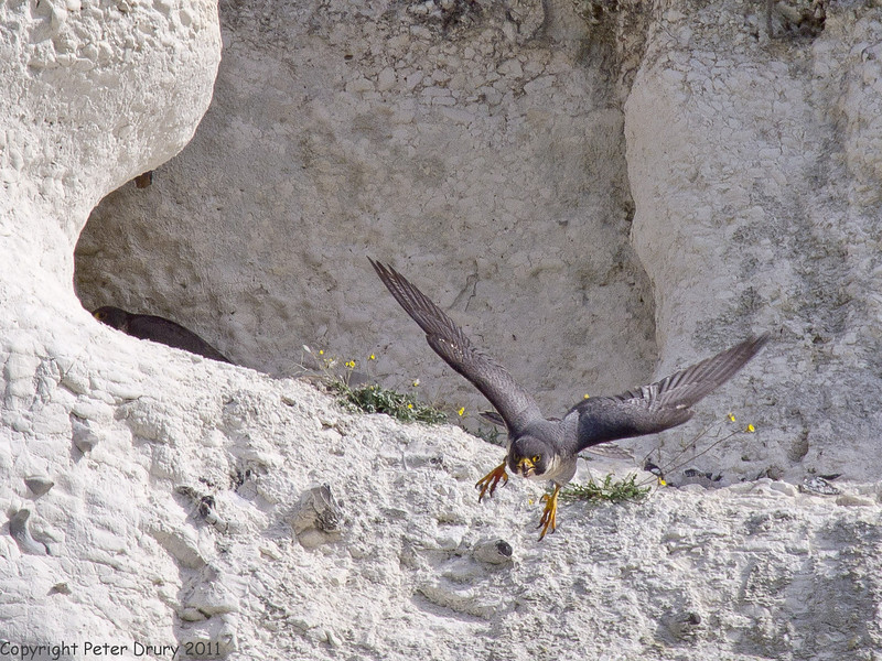 24 May 2011. Bringing in food for the chicks (Image 3) at the Chalk Quarry. Satisfied, the female takes the prey to the chicks and the male flies off. Note the relatively large talons - ideal for capturing a bird in flight. Copyright Peter Drury 2011